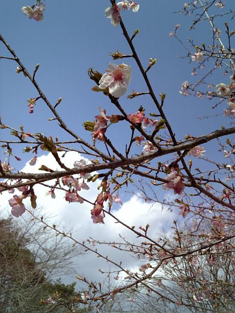 桜!見つけた。