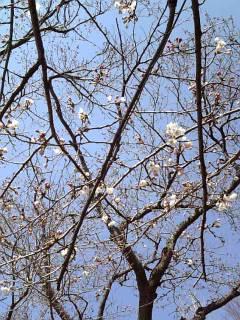ちゃんと桜!